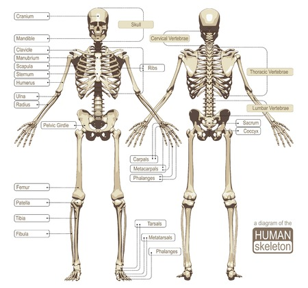 Photo pour A diagram of the human skeleton with titled main parts of the skeletal system. Vector illustration - image libre de droit