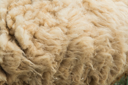 Background of raw wool or sheep skin