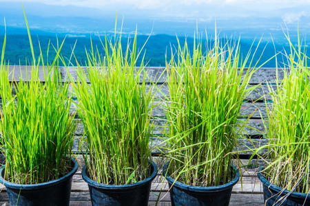 Photo for Vetiver grass in flowerpot with natural view, Thailand. - Royalty Free Image