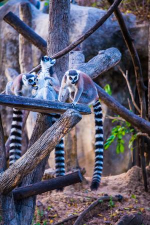 Foto de Ring tailed lemur in Thai, Thailand. - Imagen libre de derechos