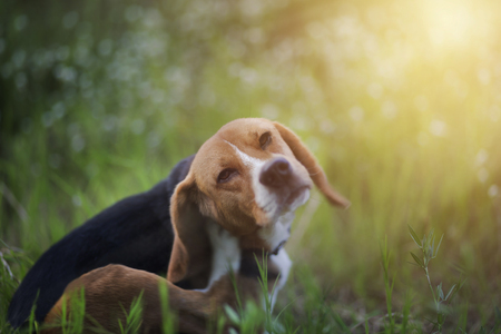 Photo pour Beagle dog scratches its body in the wiild flower field. - image libre de droit