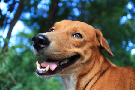Photo for Portrait of a playful brown dog outdoor in the park. - Royalty Free Image
