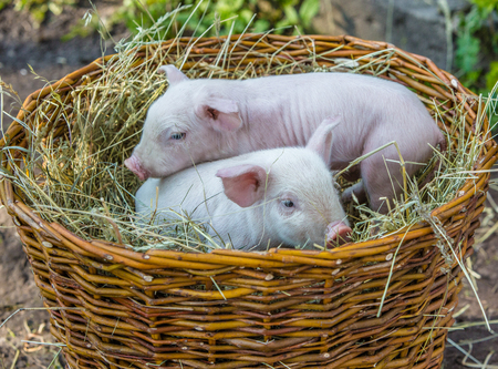 Two pigs in a basket with hay