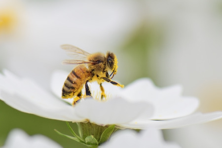 Photo pour Honey bee collecting pollen from white cosmos flower. - image libre de droit