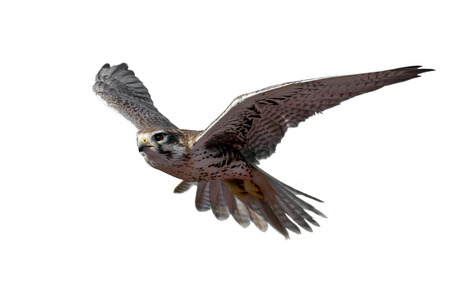 Photo pour Prairie Falcon in flight (isolated) - image libre de droit