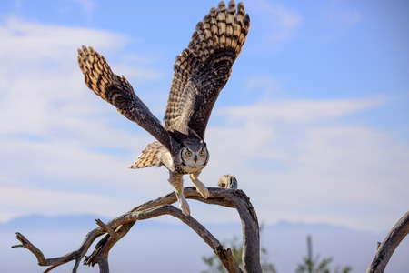 Photo for Great horned Owl flying off. - Royalty Free Image