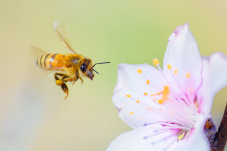 Foto de Honey bee pollinating on almond blossoms. - Imagen libre de derechos