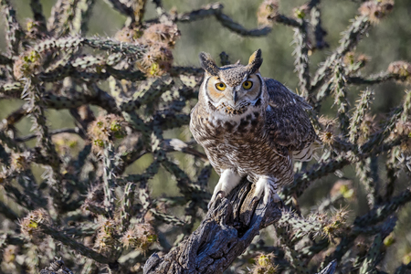 Photo for Great Horned Owl in cactus forest. - Royalty Free Image
