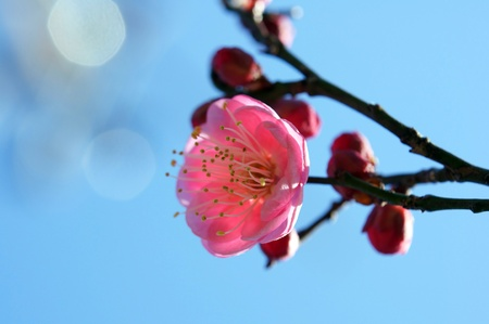Flower of the plum. Plum blossoms shooting (14:00 pm in winter)