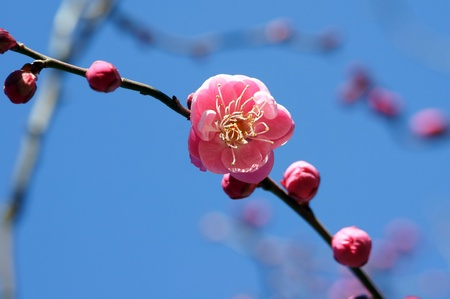 Flower of the plum Plum blossoms shooting (14:00 pm in winter)