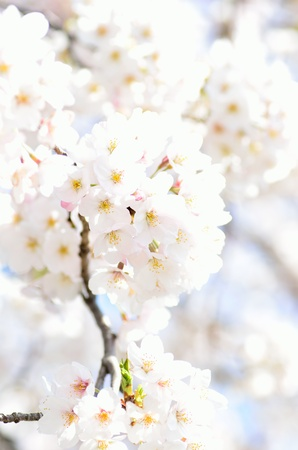 Cherry Blossoms  close-up   Photograph was taken in spring of Japan