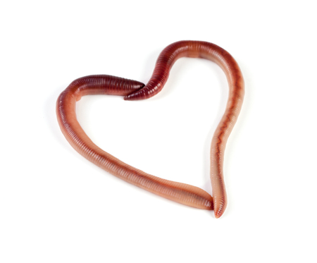 Photo pour Two earthworms in the shape of heart isolated on white background. - image libre de droit
