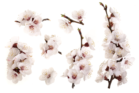 Photo pour Branch with apricot flowers isolated on white background. Top view. Flat lay. Set or collection. - image libre de droit