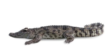 Foto de Freshwater crocodile isolated on white background, clipping path. - Imagen libre de derechos