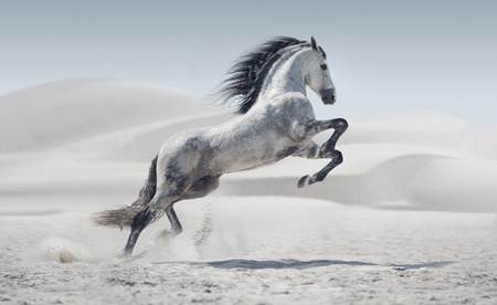 Photo pour Picture presenting the galloping white pony - image libre de droit