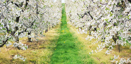 Photo for Green alley in the apple orchard - Royalty Free Image