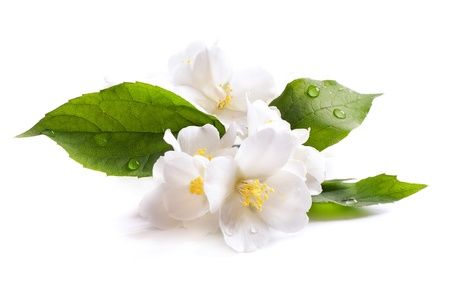 Photo for  jasmine white flower isolated on white background - Royalty Free Image