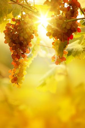 Photo pour Ripe grapes on a vine with bright sun background. Vineyard harvest season.  - image libre de droit