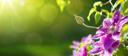 Foto de art Summer or spring beautiful garden background with clematis flowers - Imagen libre de derechos