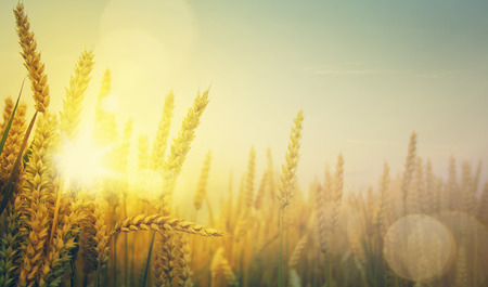 Photo for  golden wheat field and sunny day - Royalty Free Image
