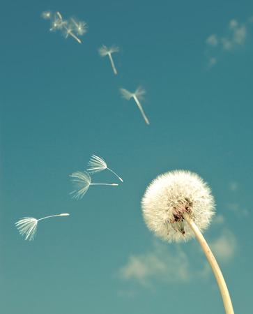 Foto de Dandelion and flying  fuzzes,with a retro effect - Imagen libre de derechos
