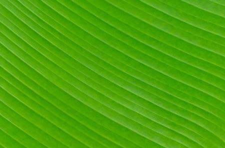 Banana leaf background texture green color