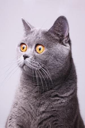 Foto de Portrait of gray shorthair British cat with bright yellow eyes on a white background - Imagen libre de derechos