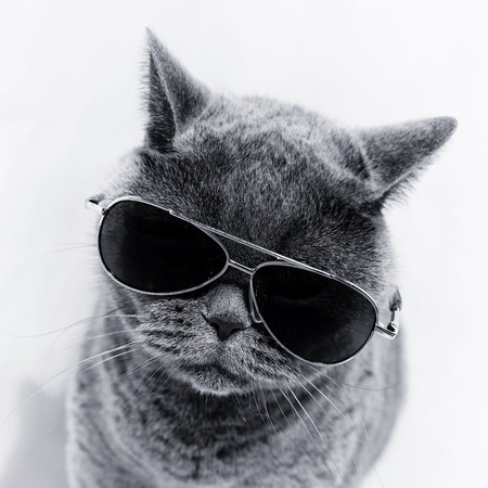 Foto de Portrait of British shorthair gray cat wearing sunglasses - Imagen libre de derechos