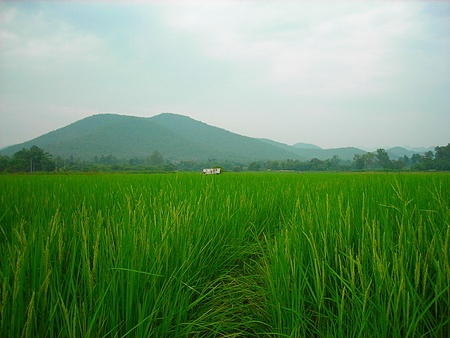 Lush green rice field with mountains and sky, In Asia, In Thailand