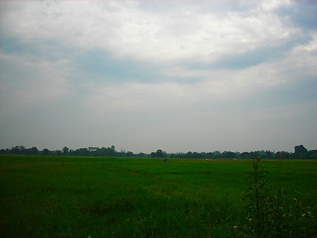 Lush green rice field, In Asia, In Thailand
