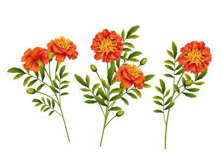 Illustration for Set of orange Marigold flowers isolated on white background. Vector illustration - Royalty Free Image