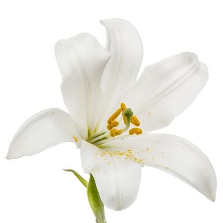 Photo for Flower of white lily, isolated on white background - Royalty Free Image
