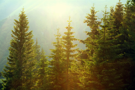 Photo for Sunlight in spruce forest in the fog on the background of mountains, at sunset - Royalty Free Image