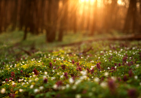 Photo for Flowering green forest on sunset , spring nature background - Royalty Free Image