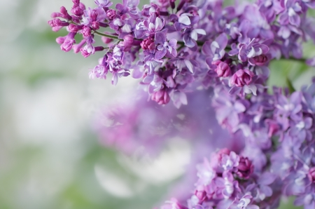 Blooming lilacs Wallpapers with spring flowers