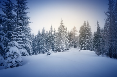 Photo pour Winter in the woods. New Year`s landscape. Fresh snow on the trees. The effect of color tinting - image libre de droit