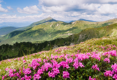 Photo pour Summer landscape. Pink flowers in the mountains. Blooming Rhododendron in a glade. Beauty in nature. Sunny day - image libre de droit