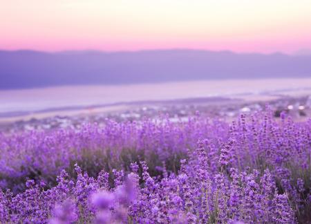 Photo pour Beautiful image of lavender field over summer sunset landscape. - image libre de droit