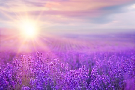 Foto de Sunset over a violet lavender field in Provence, France - Imagen libre de derechos