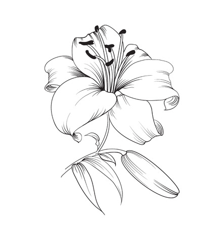 Illustration pour White lily isolated on a white background. Card with blooming lily. Vector illustration. - image libre de droit