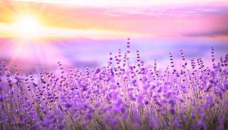 Foto de Sunset sky over a violet lavender field in Provence, France. Lavender bushes closeup on evening light. - Imagen libre de derechos