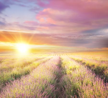 Photo pour Sunset sky over a violet lavender field in Provence, France. Lavender bushes closeup on evening light. - image libre de droit