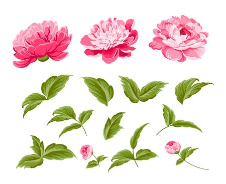 Illustration for Set of peony flowers elements. Botanical illustration. Collection of peonies on a white background. Vector illustration bundle. - Royalty Free Image