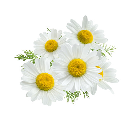 Photo for Camomile daisy group isolated on white background as package design element - Royalty Free Image