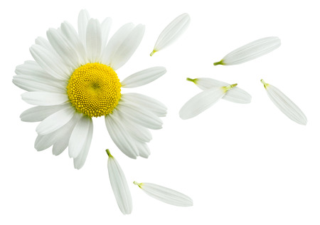 Photo for Chamomile flower flying petals, guess on daisy, isolated on white background as poster design element - Royalty Free Image