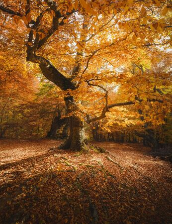 Photo for Beech tree in a forest. Autumn landscape. - Royalty Free Image
