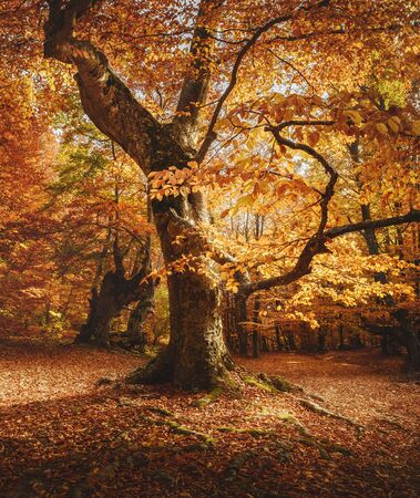 Photo for Close-up of beech tree. Autumn forest landscape. - Royalty Free Image