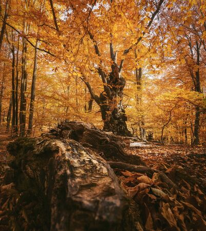 Photo for Beautiful beech forest with a fallen tree in the foreground. - Royalty Free Image