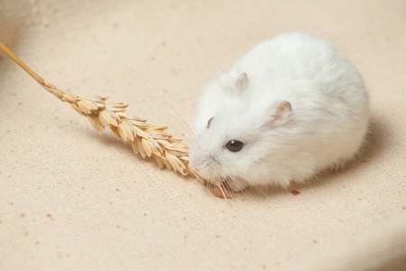 Photo for The small hamster eat a seed on sackcloth - Royalty Free Image