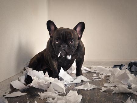 Foto de Blame the dog made a mess in the room. Playful puppy French bulldog - Imagen libre de derechos